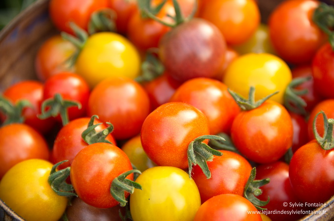Des tomates cerises de toutes les couleurs, précoces et goûteuses à croquer en toute circonstance