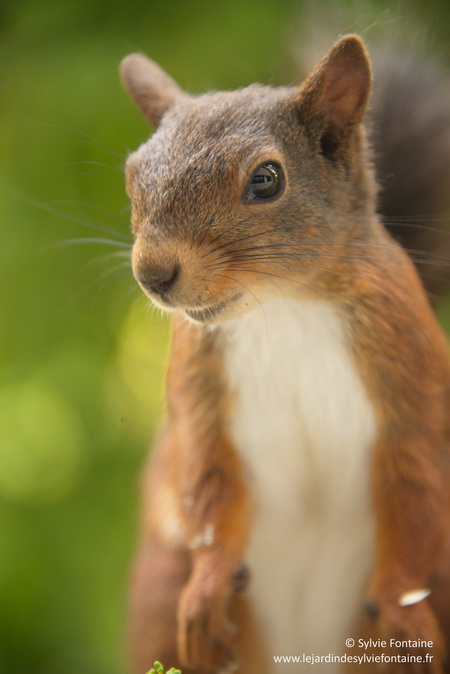 un des écureuils du jardin...quand il n'est pas entrain de grignoter mes noisettes , il prend la pose...non non c'est en fait un petit curieux  qui se préoccupe de ce que j'écris