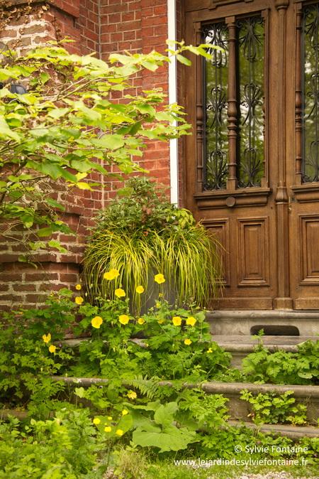 le meconopsis cambrica fait partie des plantes vivaces qui se ressèment sans demander la permission, donc pour des jardiniers un peu bohèmes