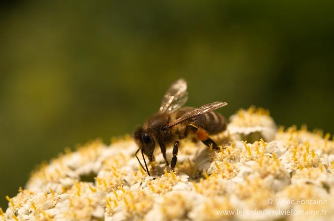 les abeilles en raffolent