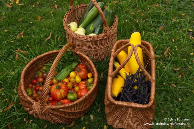 récolte du jour  pommes transparentes de croncels, courgettes, haricots, tomates, concombres...le jardin se situe dans la Nord de la France