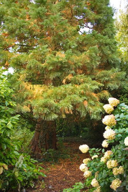 le sequoia giganteum en tenue d'automne