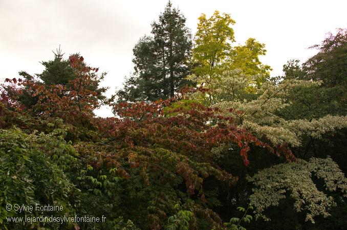 Parrotia persica, cornus controversa au jardin de Sylvie fontaine