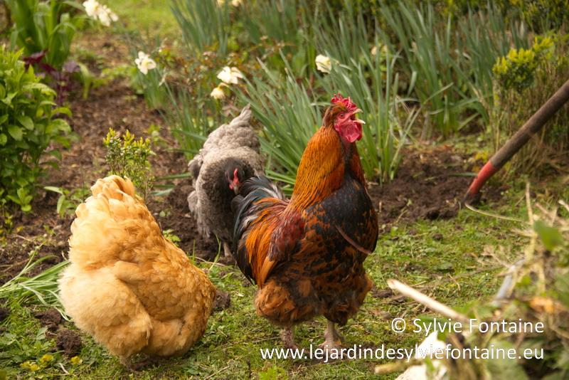 je jardine avec les poules, avec l'arrachage des buis, elles vont vraiment se régaler