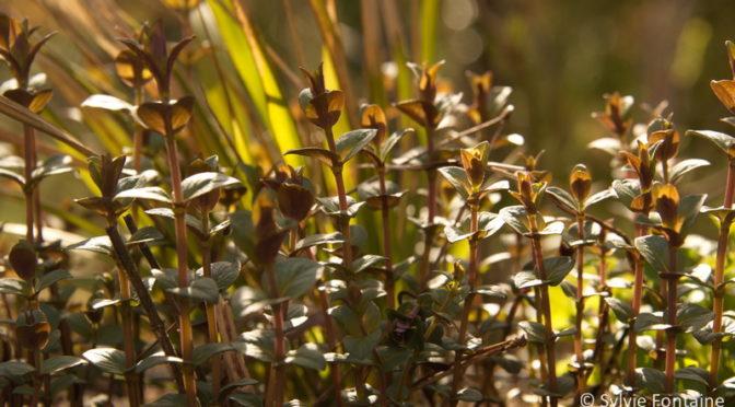 Pycnanthemum muticum …à découvrir !