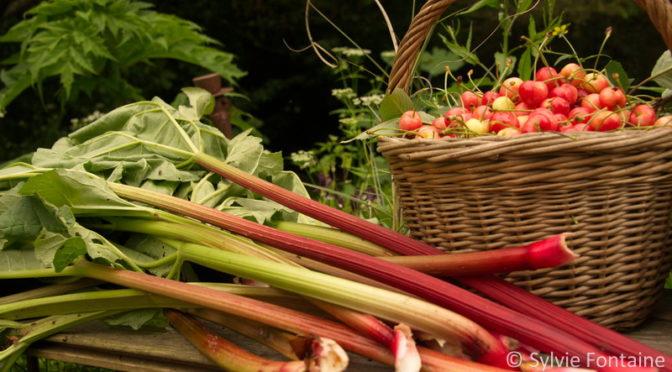 3 variétés de rhubarbe à la pépinière