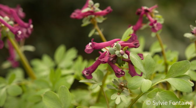 Beauté du jour…LE CORYDALIS SOLIDA PURPLE BEAUTY