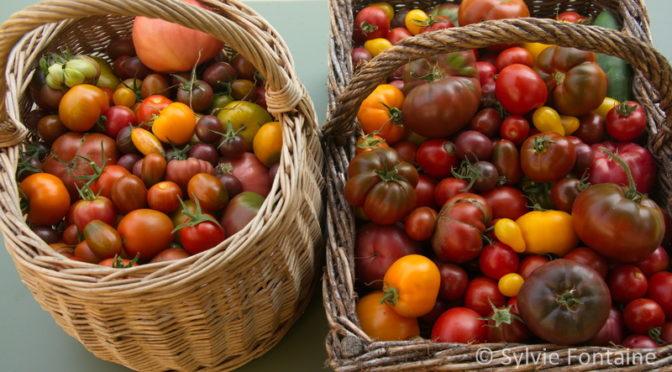 Tenir bon …avec la tomate 365j par an!
