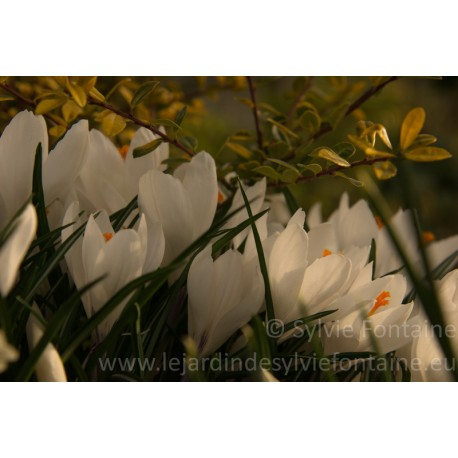 CROCUS BLANCS