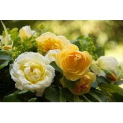LA BEAUTE DES ROSES N°1
