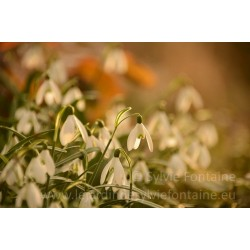GALANTHUS, ADORABLE PERCE-NEIGE N°1