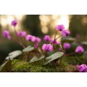 ADORABLES CYCLAMENS COUM