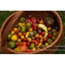 PIEDS de TOMATES graines bio cultivées de façon biologique