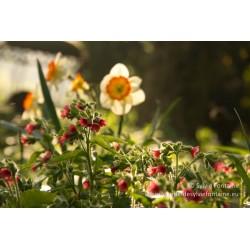 PULMONARIA rubra 'Redstart'