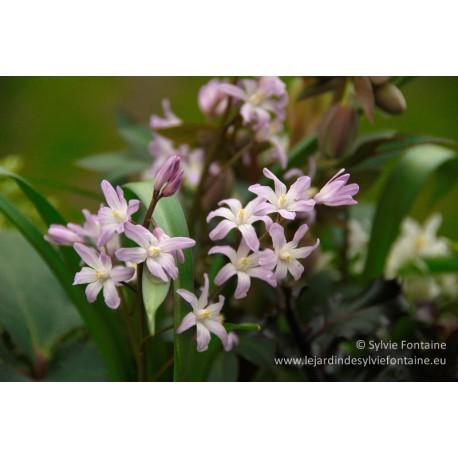 CHIONODOXA luciliae rosea