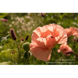 PAPAVER Queen Alexandra