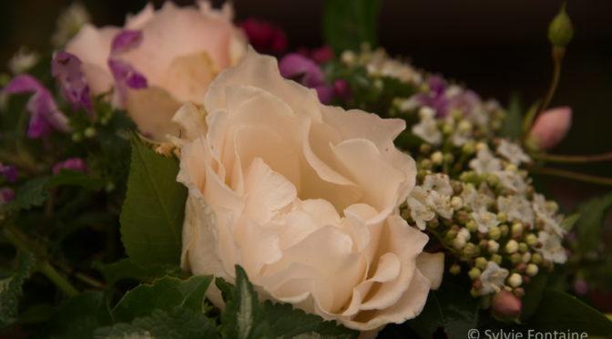 Un peu de douceur…dernières roses de décembre